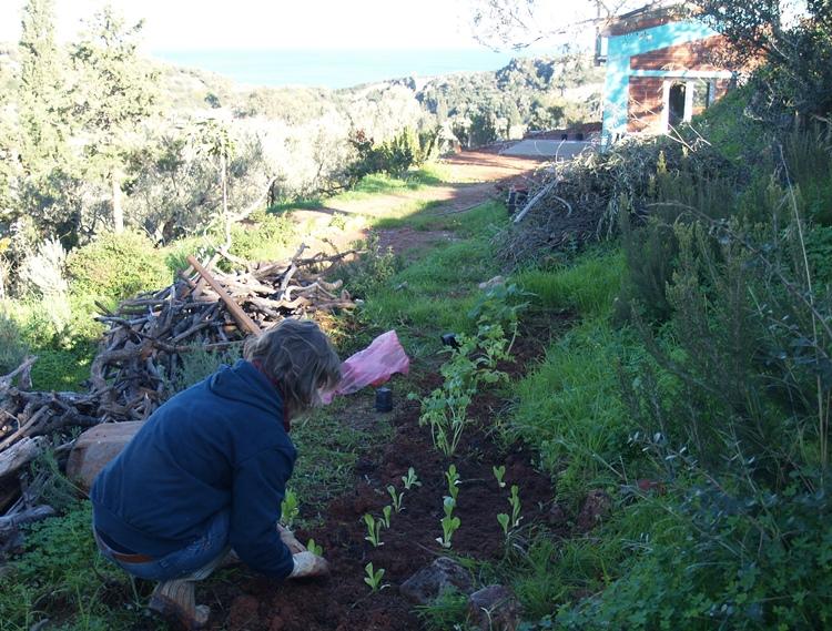 wir pflanzen Stangensellerie und Marouli Salat ..... lecker (20.12.2015)
