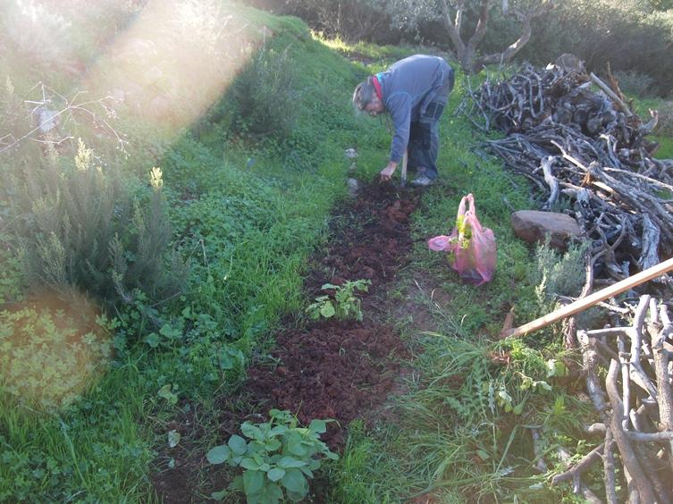 die noch wachsenden Kartoffeln gehackt und das Beet vorbereitet für Silkes Stangensellerie und Marouli Salat
