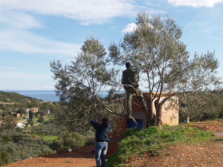 der letzte Schliff für unsere Oliven Bäume wird von Alex und Andrea erledigt. Danke dafür