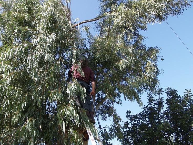 ein Ast des Eukalyptus bei Willy und Annelies gefährdet die wichtige Telefonleitung
