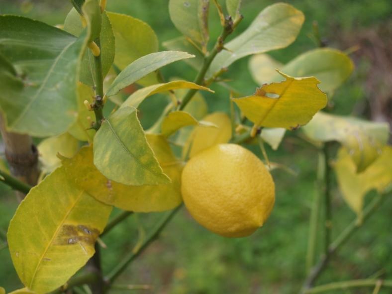 die Blätter noch vom strengen Winter gezeichnet trägt das Bäumchen seine Zitronen (das ist die letzte die noch hängt)