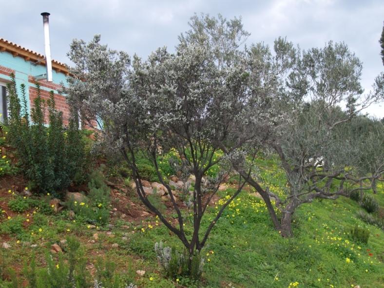 der Heide Baum (auch Erika genannt) in seiner Blühte