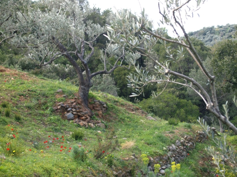 einer der Ölbäume in unserem kleinen Paradies