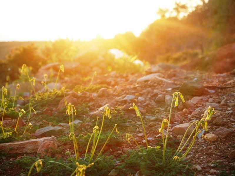 die Morgensonne scheint auf die noch geschlossenen Blüten